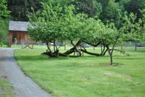 Century-old apple trees in the orchard at Mary Olson Farm. Photo by Rachael McAlister, White River Valley Museum.